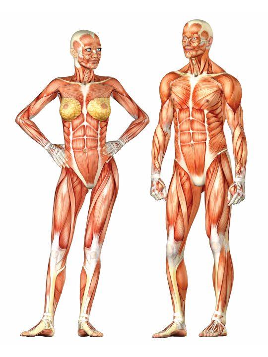 Female bone anatomy